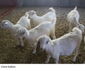 clone babies