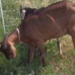 what you need to know about raising goats