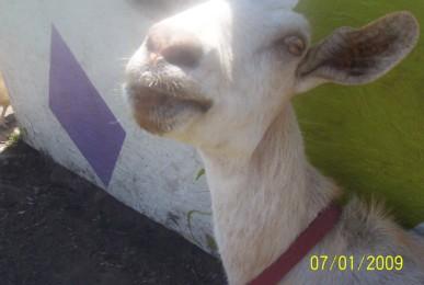 marsha the good goat